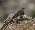 Brown anole lizard with orange throat fan male extended standing on reddish rock against a blurred grey background Royalty Free Stock Photos