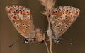 Brown argus aricia agestis a pair of waiting for the night to come Stock Images