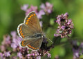 Brown argus butterfly aricia agestis on marjoram flower origanum vulgare Royalty Free Stock Photos