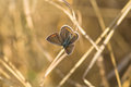 Brown argus butterfly on a grass Stock Photo