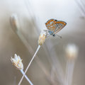 Brown argus butterfly on light to white natural background the aricia agestis is a in the family lycaenidae blues Stock Photography