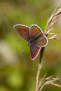Brown argus butterfly origanum vulgare aricia agestis on dried grass Stock Photography