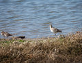 Brown avocets resting near shoreline Stock Photos