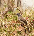 Brown Babbler Royalty Free Stock Photos