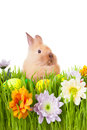 Brown baby rabbit in green grass with flowers and  Royalty Free Stock Photo