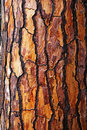 Brown bark of pine tree Royalty Free Stock Photo