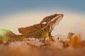 Brown Basilisk, Basiliscus vittatus, in the nature habitat. Beautiful portrait of rare lizard from Costa Rica. Basilisk in the Royalty Free Stock Photo