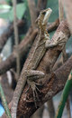 Brown basilisk jesus christ lizard santa elena serpentario monteverde costa rica Royalty Free Stock Photo