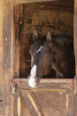 Brown bay horse view out the stable in a barn Royalty Free Stock Photo