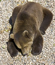 Brown bear 23 Royalty Free Stock Photography