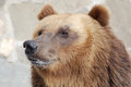 The brown bear Royalty Free Stock Photos