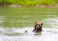 Brown bear Royalty Free Stock Photo