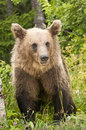 Brown bear the adult strolling in the grass Stock Photography