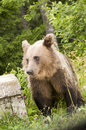 Brown bear the adult strolling in the grass Stock Photos