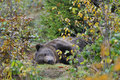 Brown bear in the autumn Royalty Free Stock Image