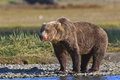 Brown bear boar with bloody snout on Royalty Free Stock Images