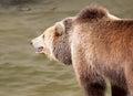 Brown bear catches fish ursus arctos arctos Stock Images