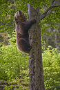 Brown Bear Climbing a Tree Stock Photography