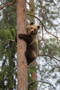 Brown bear climbing tree in forest