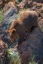 Brown bear climbs down gully between rocks Royalty Free Stock Photo