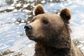 Brown bear closeup of the head of a Royalty Free Stock Images