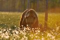 Brown bear in contra light at sunset Stock Photography