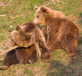 Brown bear and cub Stock Photography