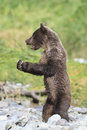 Brown bear cub with clam in claws holding Royalty Free Stock Images