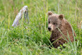 Brown Bear Cub in Tall Grasses Royalty Free Stock Photo