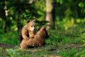 Brown bear cubs playing Stock Photo