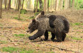 Brown bear cubs playing in the forest Stock Images