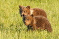 Brown bear cubs two first year alaskan coastal standing side by side in grassy meadow Stock Images
