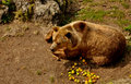Brown bear eating apples Stock Photo