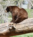 Brown Bear On A Fallen Tree Trunk Royalty Free Stock Photo