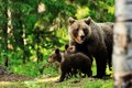 Brown bear family in forest Royalty Free Stock Photo