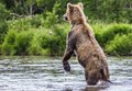 The brown bear fishes see my other works in portfolio Royalty Free Stock Images