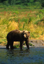 Brown Bear Fishing Stock Image
