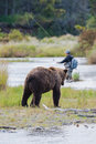 Brown Bear with fly fisherman Royalty Free Stock Photo