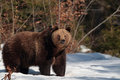 Brown bear in the forest of maramures mountains live romanian only wildest carpathian number that live Stock Image