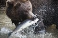 Brown bear with a fresh catch of salmon see my other works in portfolio Royalty Free Stock Image