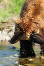 Brown Bear Itch Royalty Free Stock Photos