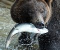 Brown bear, Kamchatka Royalty Free Stock Photo
