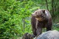 Brown bear (lat. ursus arctos) Royalty Free Stock Images