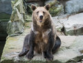 Brown bear looks into your eyes sits on stone in Royalty Free Stock Images