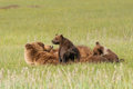 Brown bear nursing two young alaskan coastal cubs in meadow Stock Photography