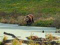Brown Bear at Pond Royalty Free Stock Photography