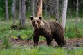 Brown bear after the rain in summer Royalty Free Stock Photography