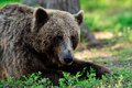 Brown bear resting in the forest Royalty Free Stock Photography