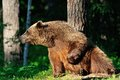 Brown bear resting in forest Royalty Free Stock Image