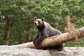 Brown bear a resting in a forest Stock Photo